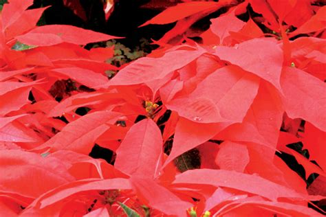 are poinsettias poisonous to dogs fact or fiction are poinsettias poisonous tennessee home and farm