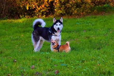 husky puppies cost how much do huskies cost the varying prices and expenses in husky ownership