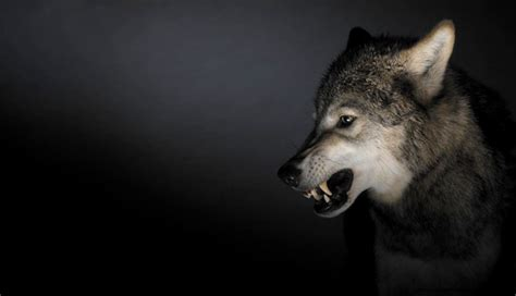 Angry Wolf angry wolf amazing wallpapers