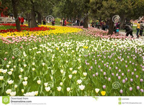 tulip flower garden tulip flower garden stock photo domain pictures chsbahrain