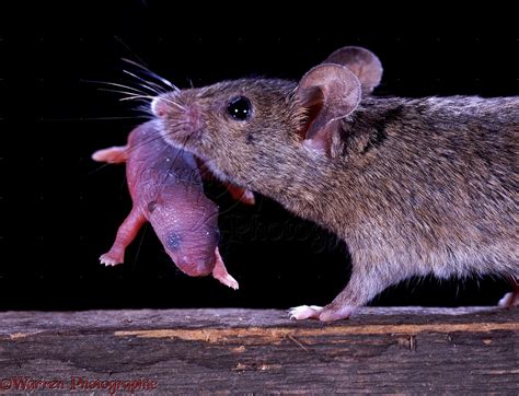 house mouse house mouse carrying baby photo wp06634