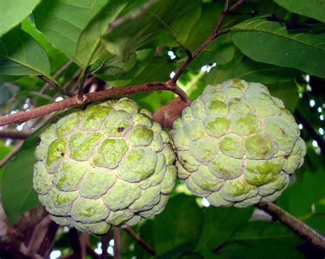 anonas fruit tree file anona squamosa fruit jpg wikimedia commons