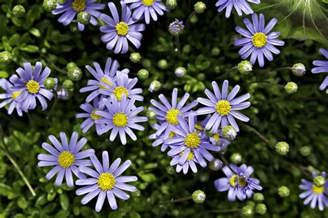 facts about daisy flowers facts about daisy flowers that will leave you amazed