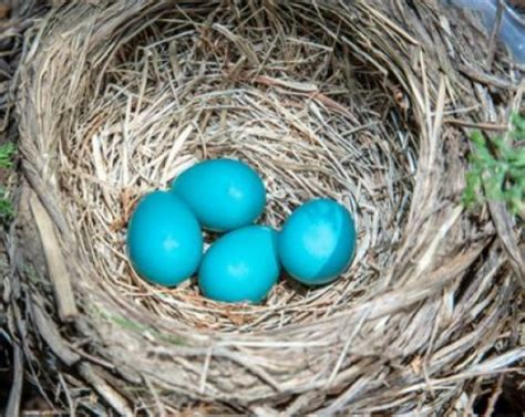 color of robins eggs determines parental care sciencedaily