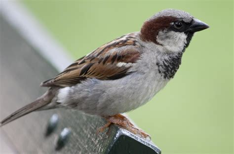 little known facts about house sparrows that ll surprise you