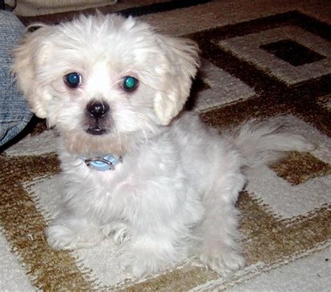 havanese pomeranian mix puppies havapeke havanese and pekingese mix pictures and information