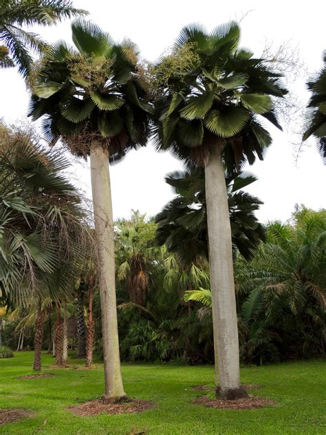 Tropical Botanical Garden Miami Plantfiles Pictures Bailey S Copernicia Palm Yarey Palm