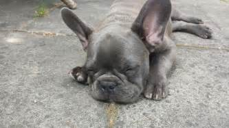 Blue french bulldog puppy male portsmouth hampshire pets4homes