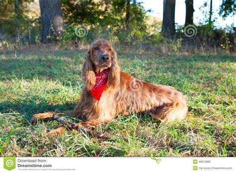 irish setter dog time irish setter dog stock photo image 48672880