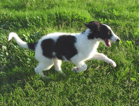 russian wolfhound puppies 17 best images about borzoi russian black terrier russian wolfhound on