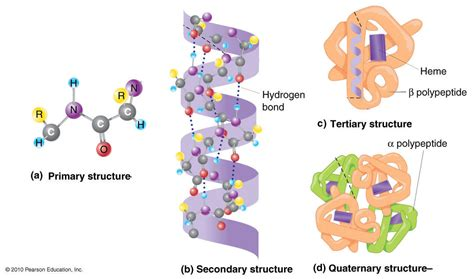 4 protein structures four levels of protein structure