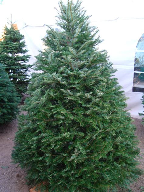 all about christmas trees wildwood outdoor living