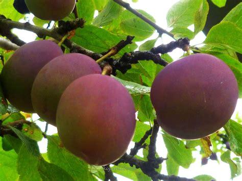 Buah Plum cake buah plum kiyanti2008 s weblog