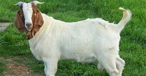 Bibit Kambing Boerawa kambing saburai komoditas unggulan dari tanggamus