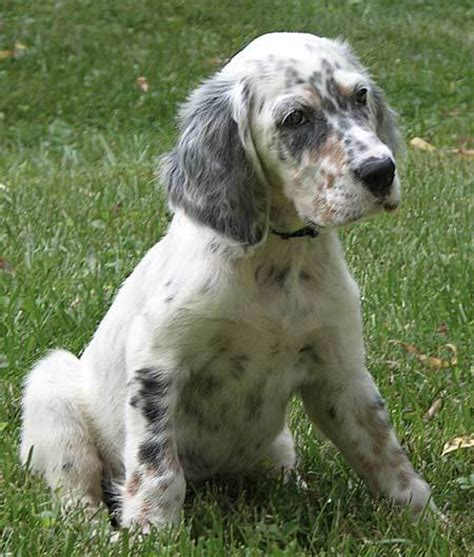 english setter dog images sporting puppies pictures