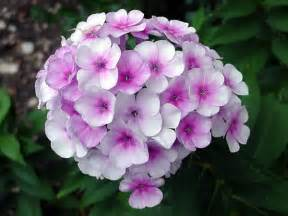 elizabeth marsh floral design phlox flower it s meaning growing conditions and source