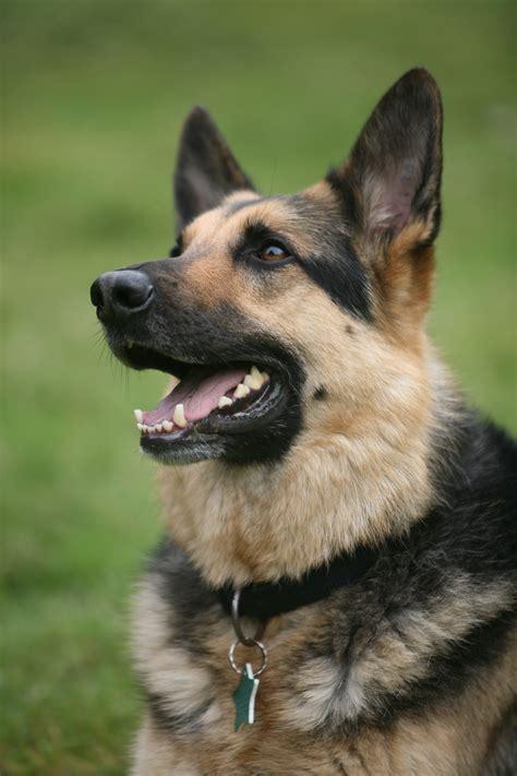looking for german shepherd puppies german shepherd vs rottweiler one breed wins