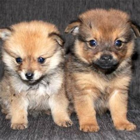 pomchi puppy pomchi pomeranian chihuahua mix info temperament puppies pictures