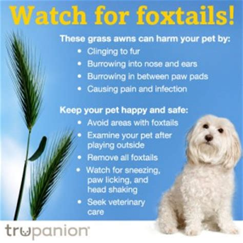 foxtails in dogs foxtail claims on the rise the trupanion