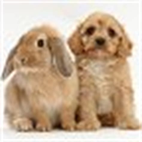 doodle dice uk pets f1b goldendoodle puppy and rabbit photo wp37287