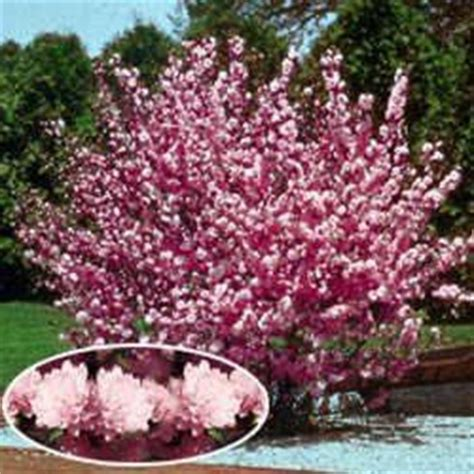 early pink flowering shrubs flowering almond shrub bush but can be trained to grow as