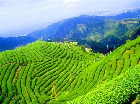 green korea wallpaper boseong south korea and the daehan dawon tea plantation