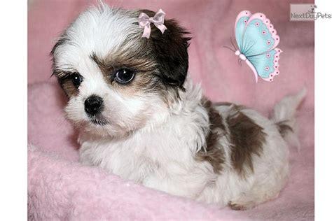 free puppies in spokane shima for sale for 595 near spokane coeur d alene washington 250e97de 2c21