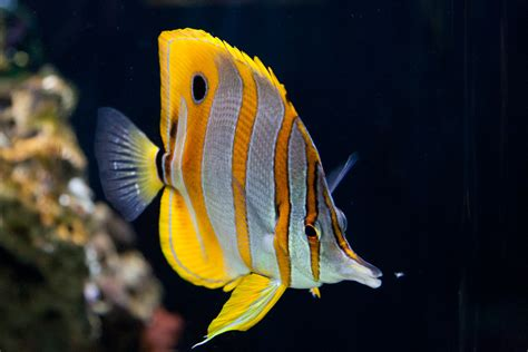 Lq 09 Butterfly 2w butterfly fish facts and new photos the wildlife