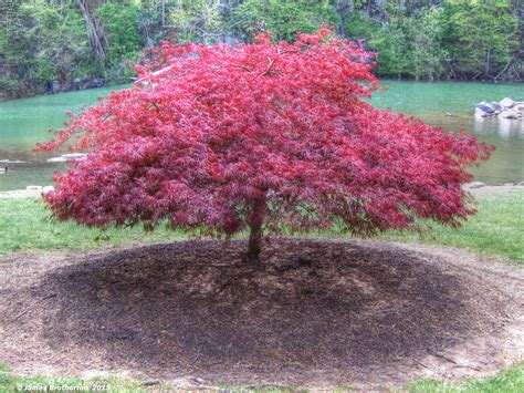 black japanese maple red laceleaf japanese maple by jim88bro landscaping pinterest