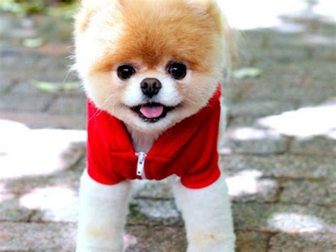 why were pomeranians bred 8 things you never knew about pomeranians