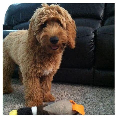 how big is a mini goldendoodle mini goldendoodle 5 months jeter cas toys