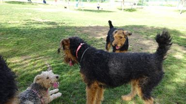 Clipping And Grooming Your Terrier airedale terrier grooming airedale terriers airedale