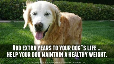 golden retriever healthy weight simple steps to healthy weight loss perfectweight golden woofs