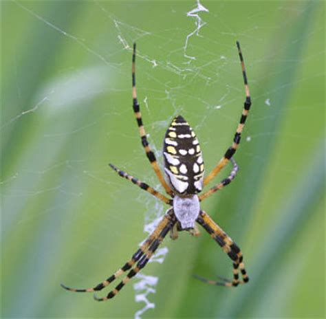 Garden Spider Florida Bite Spiders At Spiderzrule The Best Site In The World About