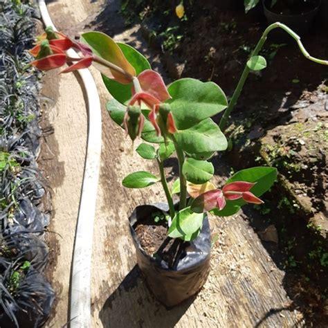jual tanaman bunga cucak rowo bibitbungacom