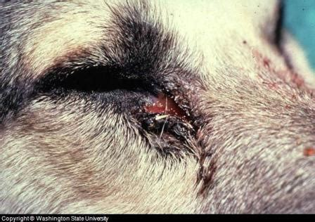 puppy eye infection eye infection symptoms pictures and treatment advice