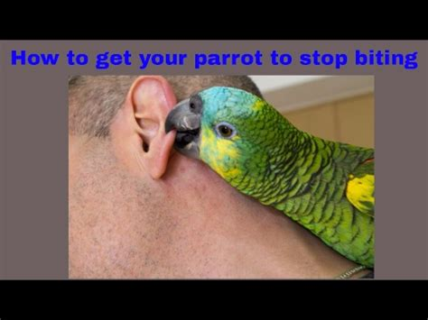 how to get a to stop biting stop your parrot from biting doovi