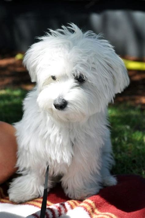 white maltipoo puppies 3260 best i maltese dogs images on