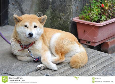 imagenes de animales japoneses perros japoneses imagen de archivo imagen de mam 237 feros
