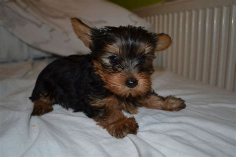 yorkie puppies for sale in east terrier puppies for sale east pets4homes