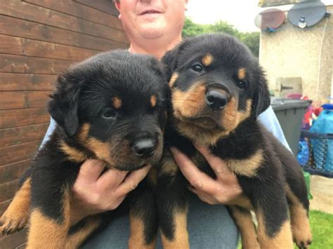 puppies  sale alvin tx top dog information