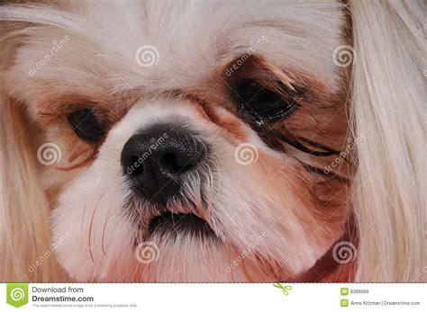 shih tzu nose shih tzu royalty free stock image image 8388966