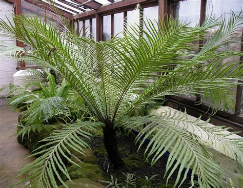 Tropical Foliage House Plants Care - plants amp flowers 187 silver lady fern