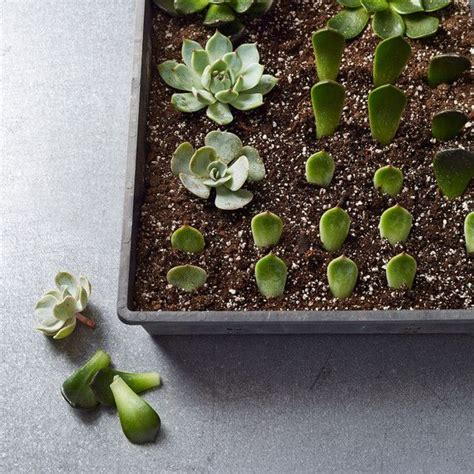How To Propagate Succulent Leaf Cuttings With Near - 25 best ideas about propagate succulents on