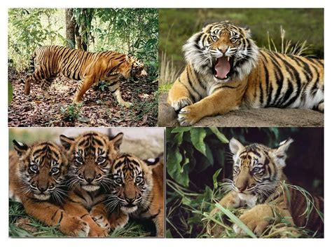gambar harimau format png biologi edutainment bab iv pelestarian hewan dan tumbuhan