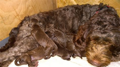 sproodle puppies for sale sproodle puppies for sale emsworth hshire pets4homes