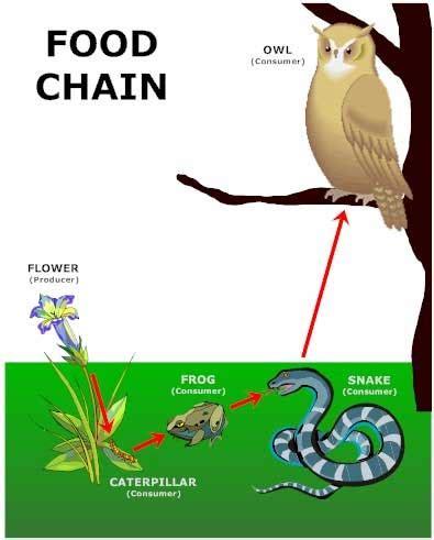 animal food chain diagram food chain diagram for