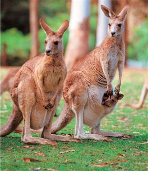 doodlebug orphaned kangaroo the 25 best kangaroos ideas on kangaroo