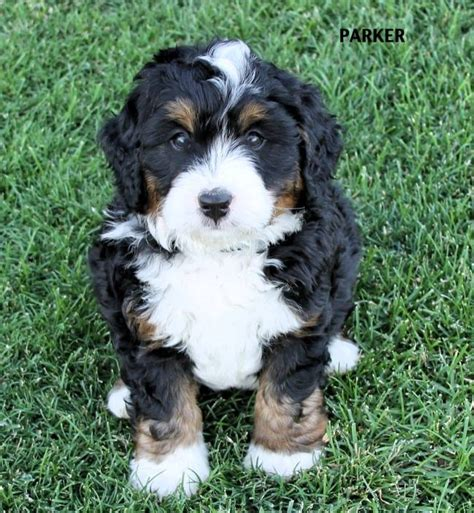 tiny bernedoodle puppies for sale bernedoodle puppy pricing rocky mountain bernedoodles