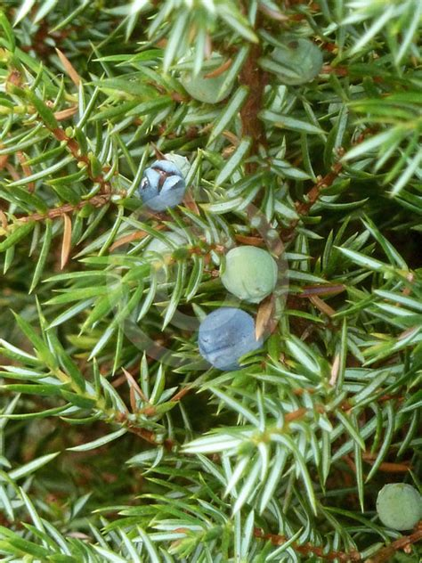 Formal Cottage Garden Ideas - juniperus communis hibernica irish juniper information amp photos
